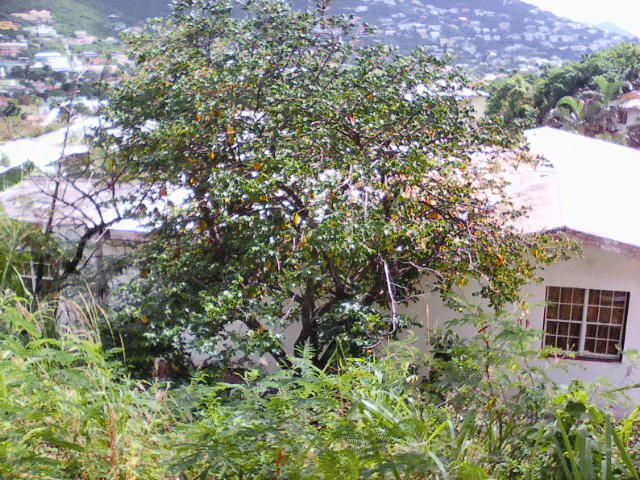 star-fruit-tree-st-maarten-agriculture
